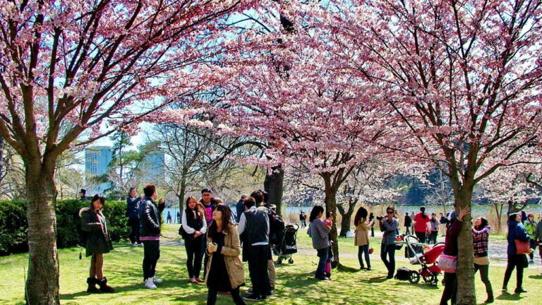 Park with cherry trees in full bloom